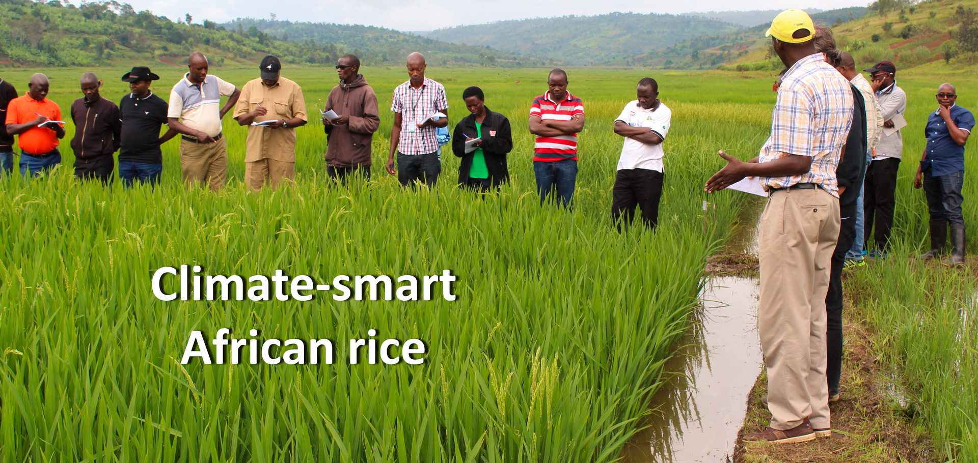 Climate smart african rice